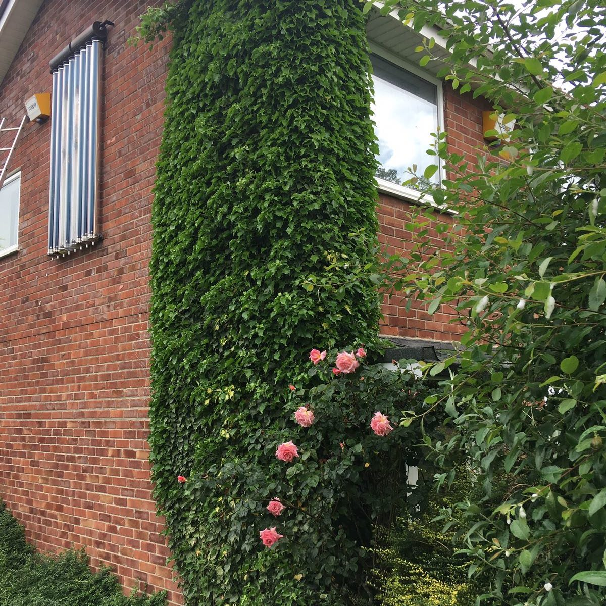 Ivy removal from brickwork and gutters of house